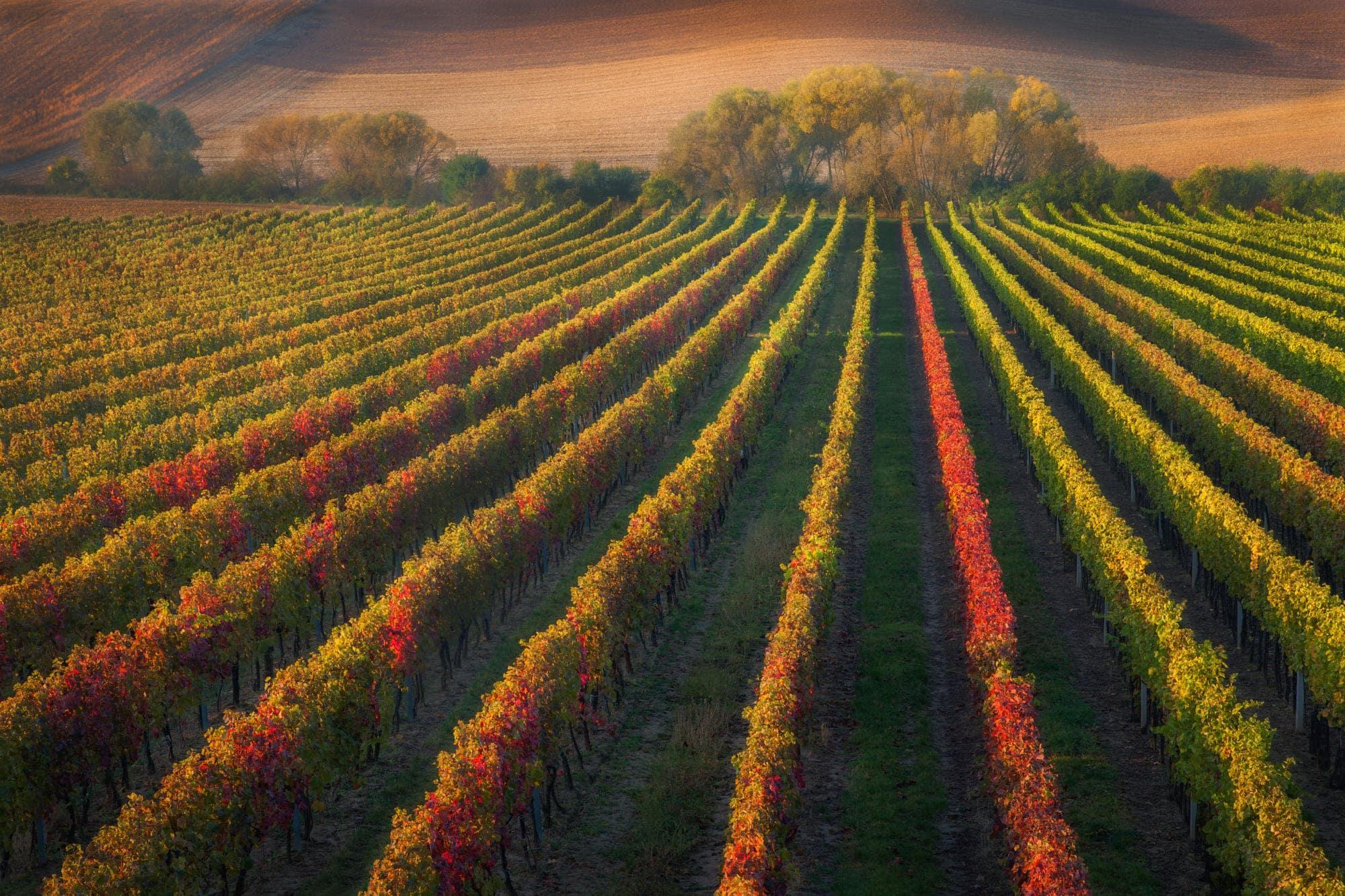 Чехия, виноградники